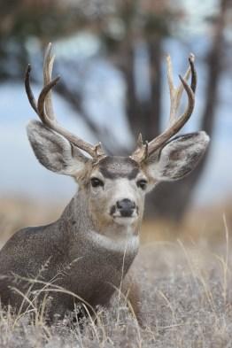 mule-deer-buck-Wayne-D-Lewis-DSC_0520