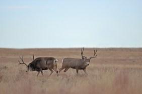 mule-deer-bucks-Wayne-D-Lewis-DSC_0151