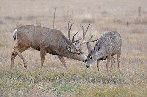 mule-deer-bucks-Wayne-D-Lewis-DSC_0240
