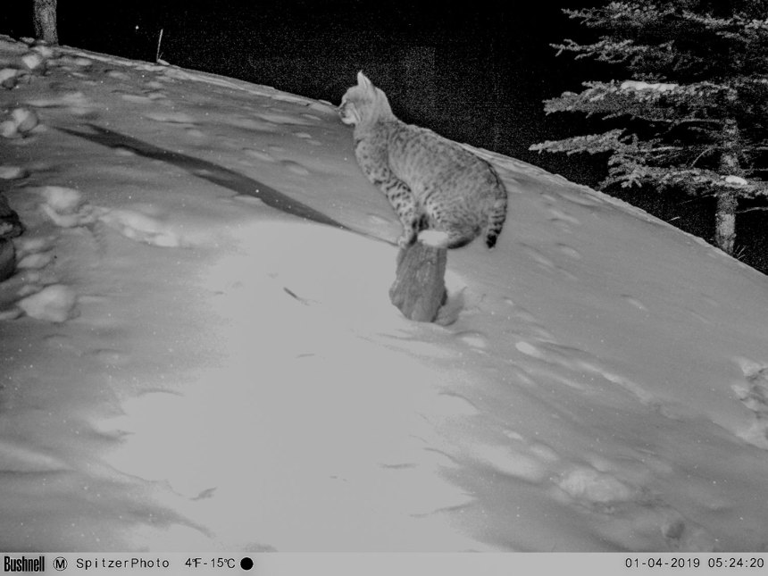 Bobcat in Eagle County