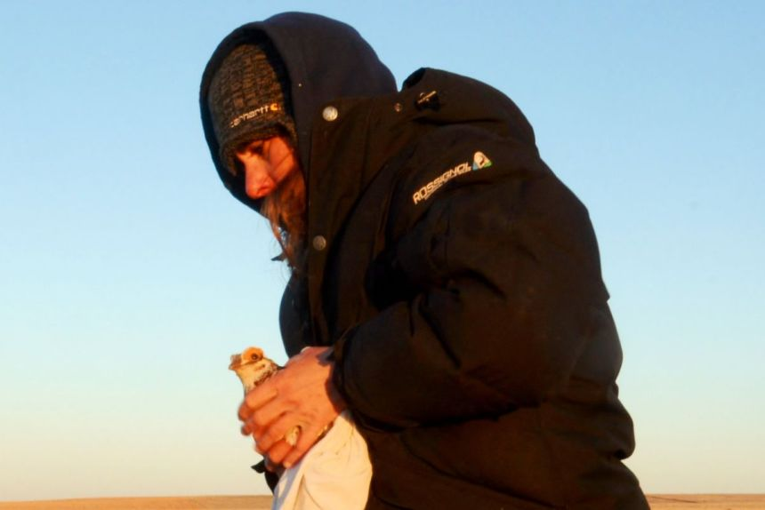 biologist Kat Bernier carefully held a male lesser prairie chicken