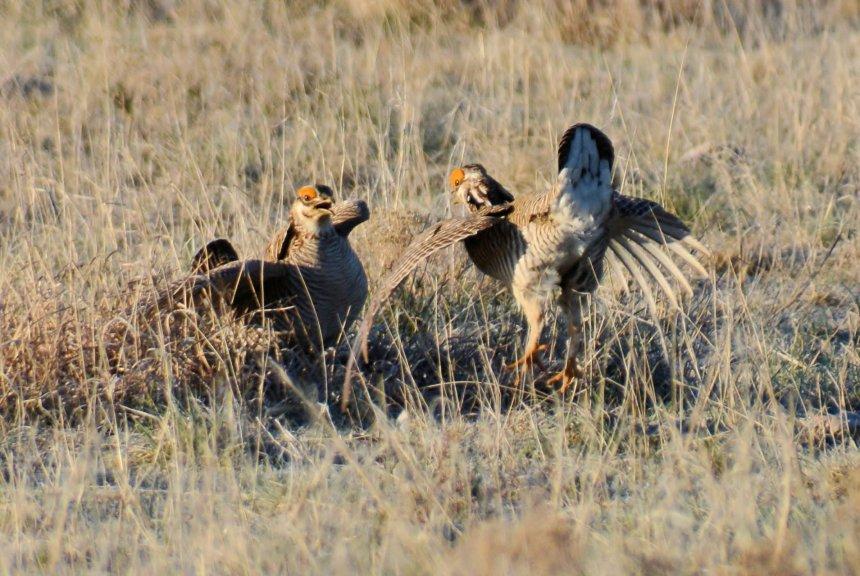 Male lesser prairie chickens