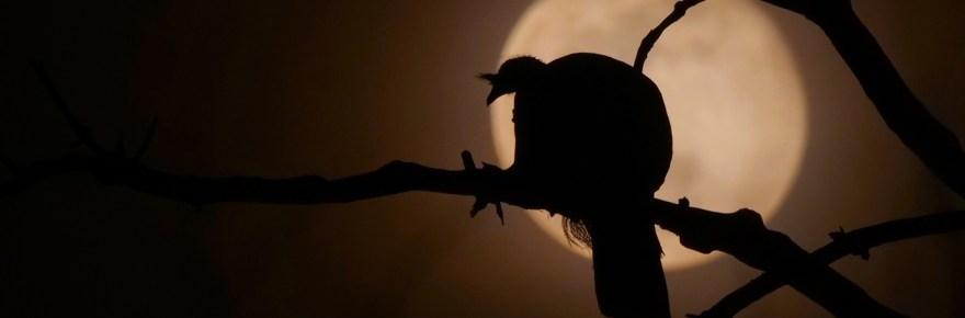 Turkey roosting during full moon