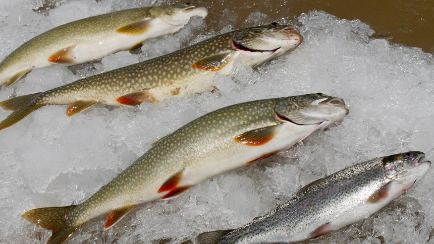Trout on ice