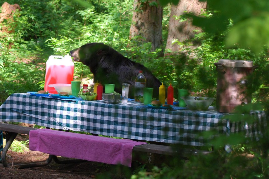 Black bear rummaging through picnic area.