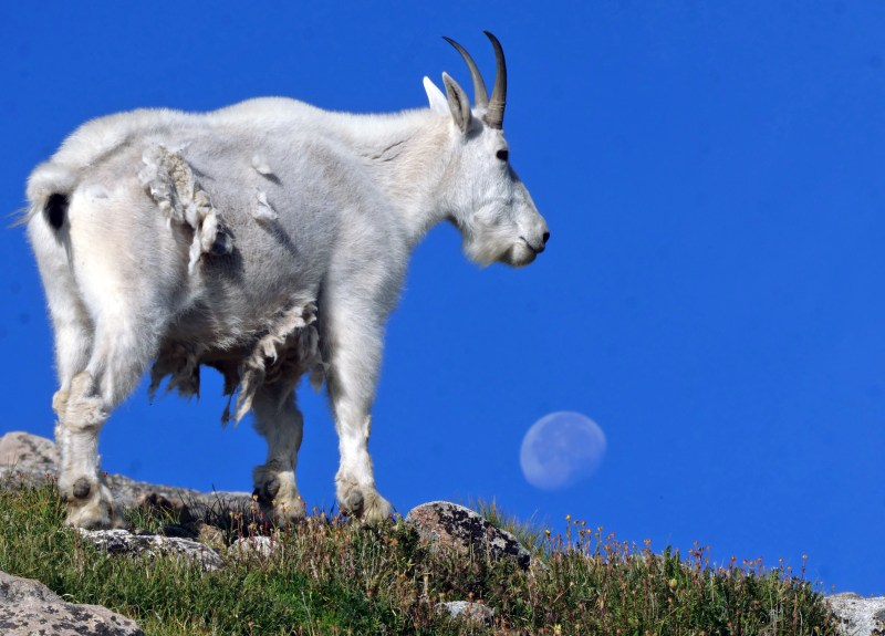 Mountain goat and moon