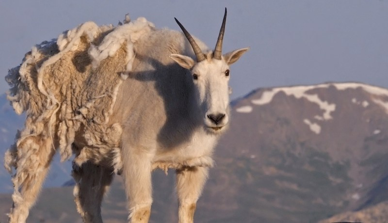Shedding mountain goat
