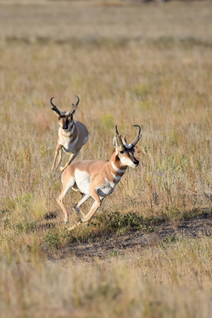 dominant pronghorn buck chases off another male
