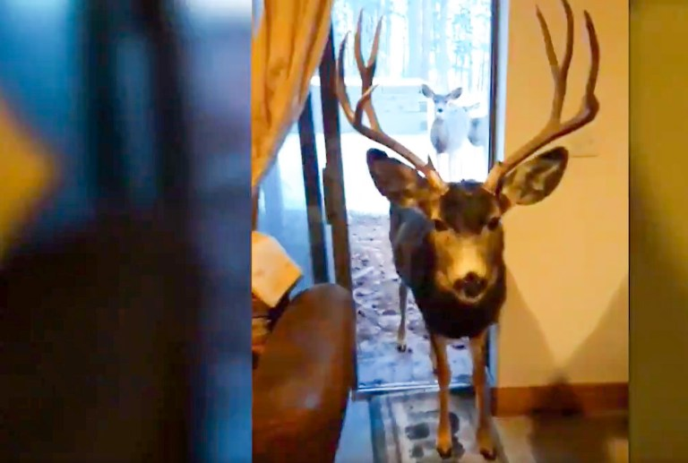 deer enters house for food