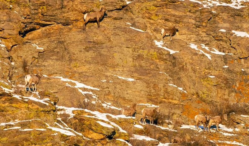 Rocky Mountain bighorn sheep near Tarryall Reservoir.
