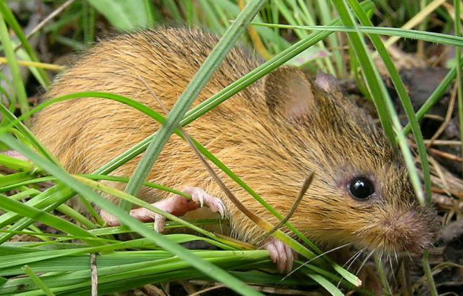 New Mexico Meadow Jumping Mouse. Photo courtesy of U.S. Fish and Wildlife Service.
