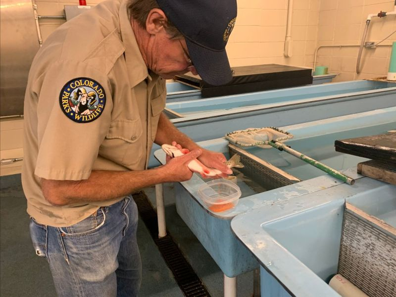 Toby Mourning, manager of the Durango fish hatchery for Colorado Parks and Wildlife, takes eggs from a rare San Juan cutthroat trout.