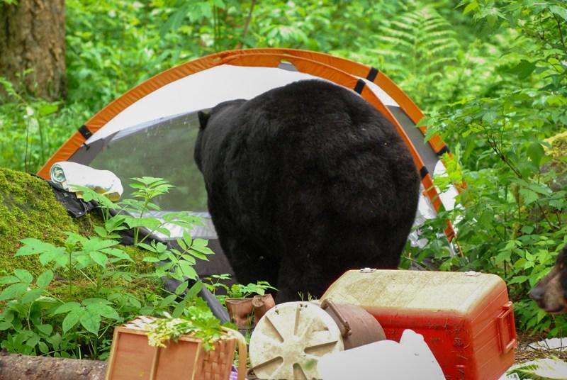 bear in campsite