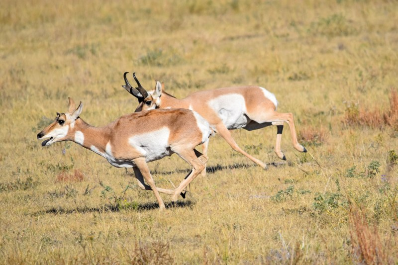 pronghorn buck chasing a doe during the rut