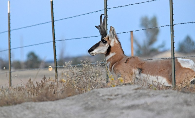 pronghorn crawling under fence