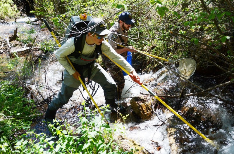 Colorado Parks and Wildlife aquatic biologists are seen electroshocking Bear Creek during the June 2017 spawn.