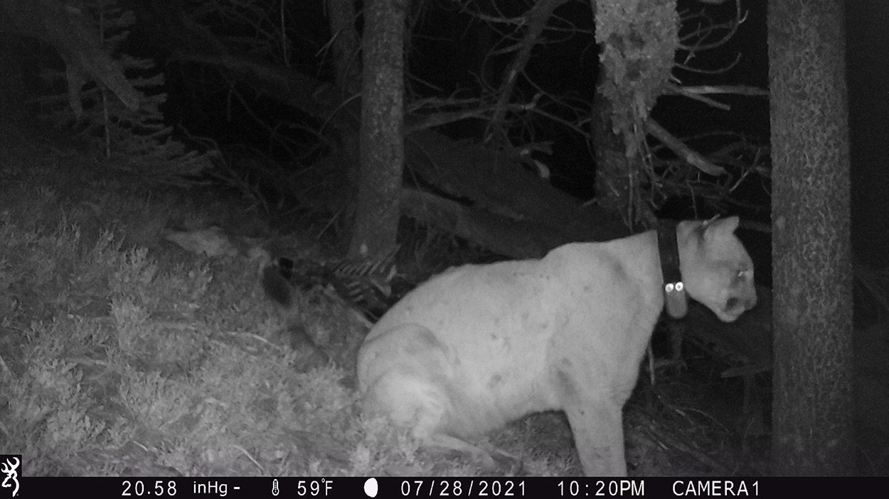 A picture off the trail camera wildlife officers placed at the site where the collared mountain lion cached the collared mule deer.