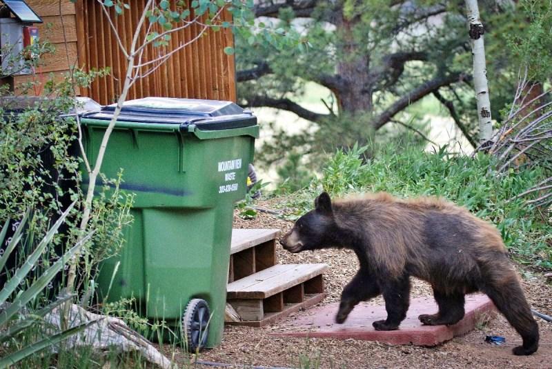 bear heading for trash can.