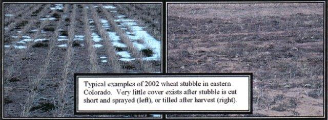 page13wheat
