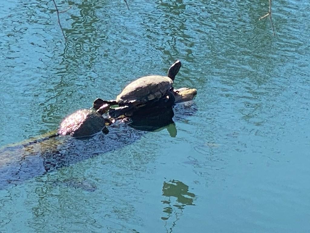 Turtles on Lady Bird Lake