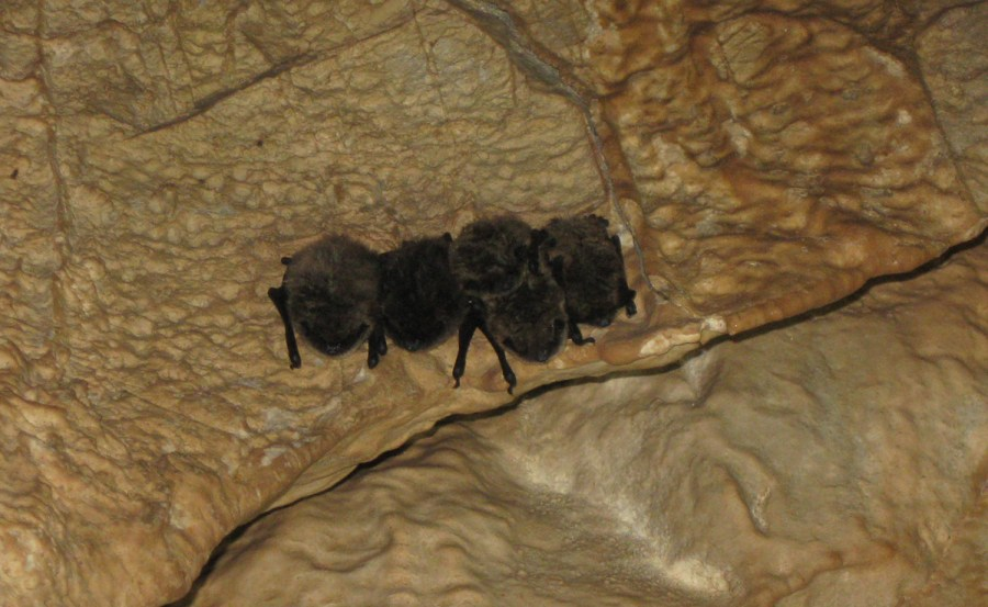 A cluster of bats in Groaning Cave