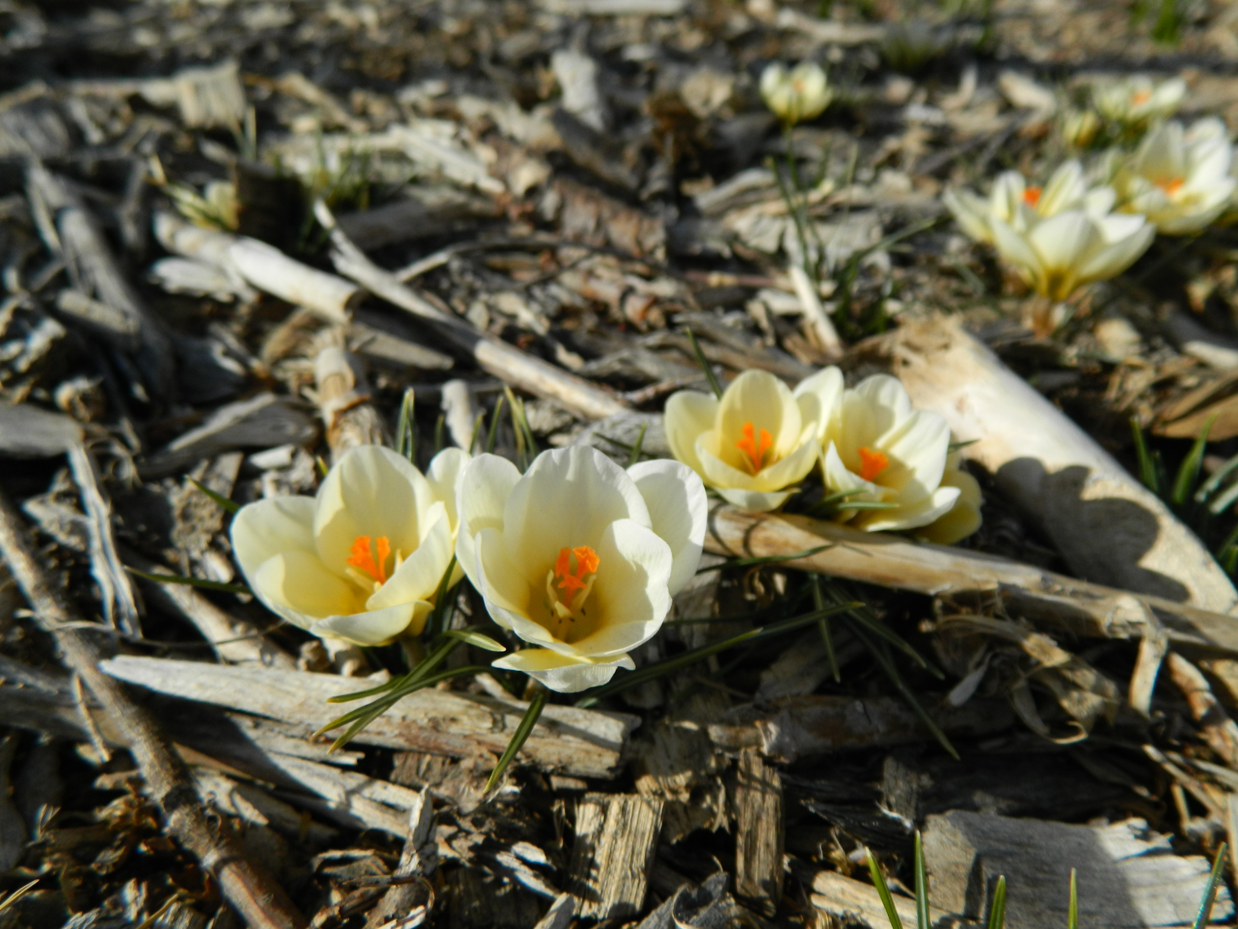 Snow Crocus Are Blooming Colorado Yard Care
