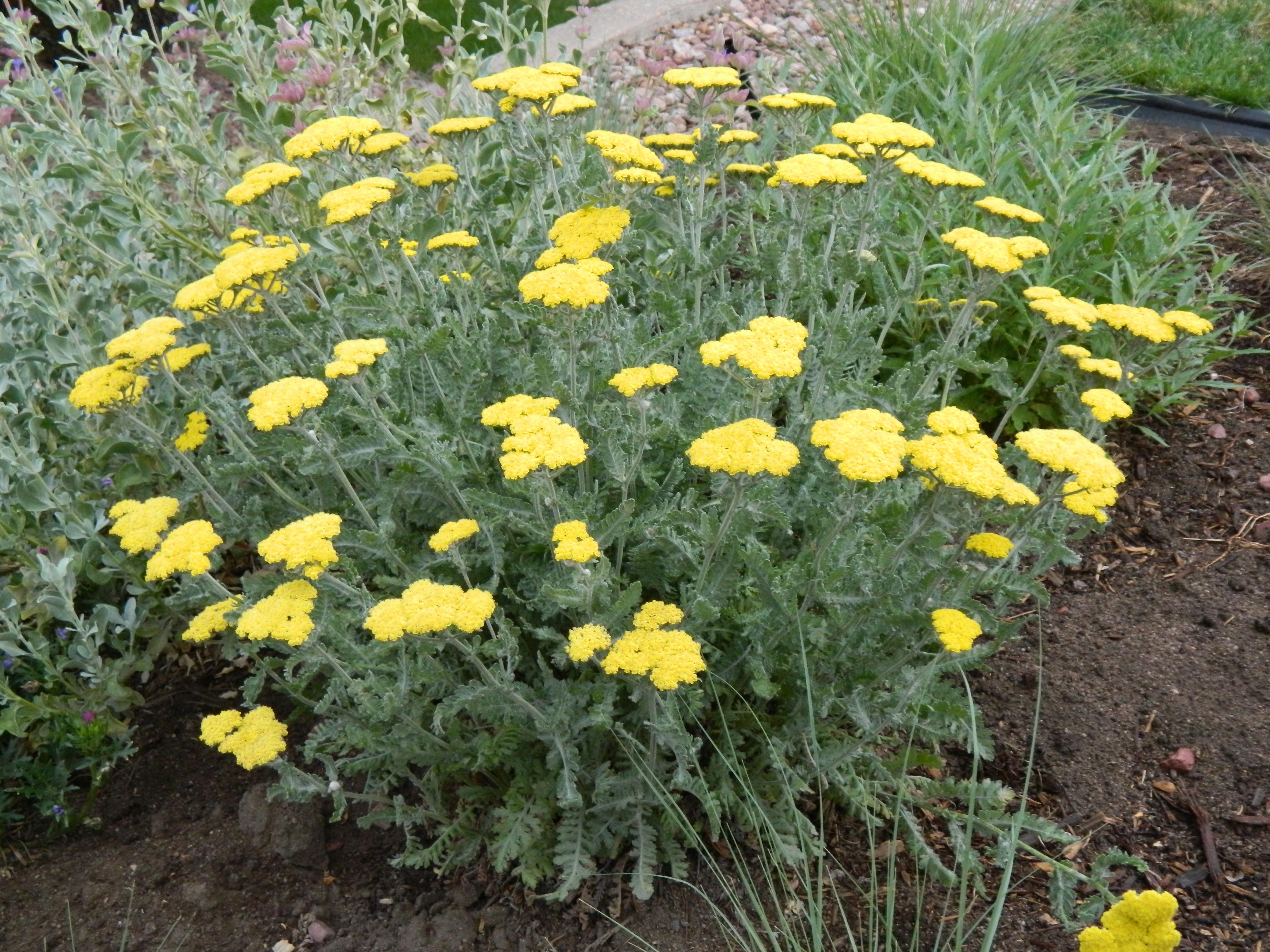 Picture of Live Yarrow Moonshine aka Achillea 'Moonshine' Perennial Plant Fit 1 Gallon Pot