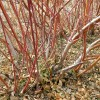 red twig dogwood stems