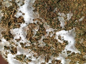 Snow melting on lawn