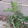 Prickly lettuce, Lactuca serriola