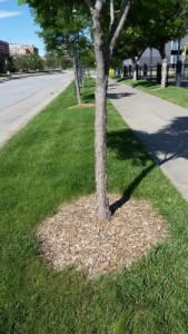 A mulch ring at the base of a tree