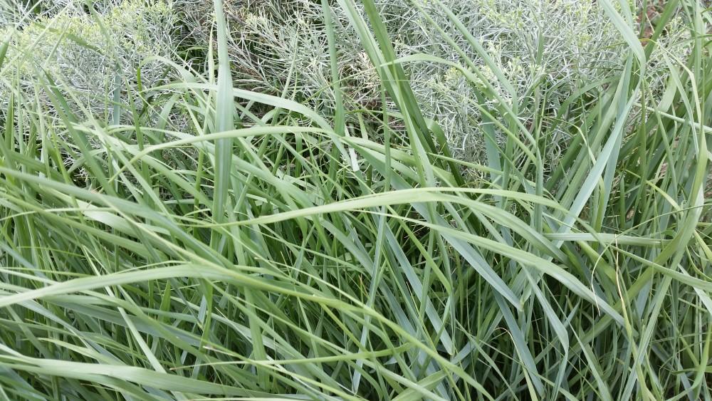 Prairie Sky Switchgrass and Rabbitbrush