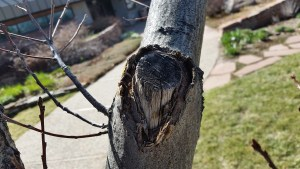 Open Pruning Wound