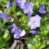 Blue Periwinkle
