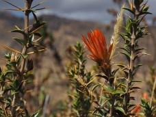 Huamanpinta-Blume, natürlich auch mit Stacheln versehen