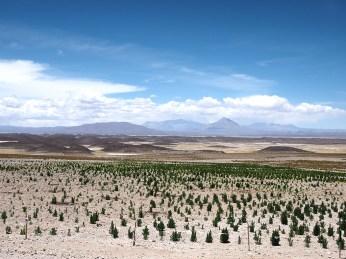 Ein paar einsame Quinoa Pflänzchen