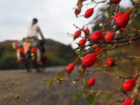 Hagenbutten säumen die Strasse