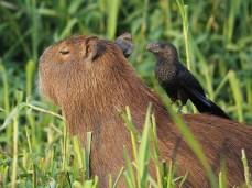 Das Capybara ist dank einem Smooth-billed Ani heute zeckenfrei. Vielleicht sollte ich mich auch anstellen...