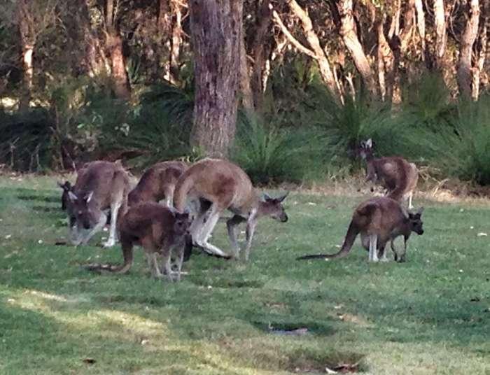 Kängurus auf dem Friedhof in Perth