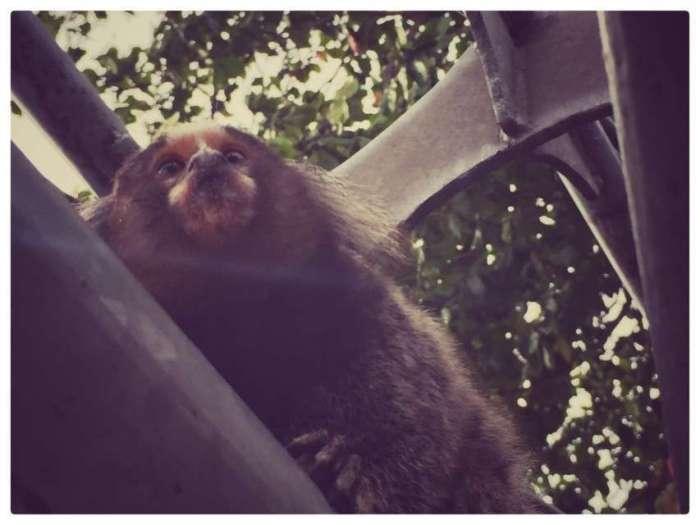 Affe auf dem Zuckerhut