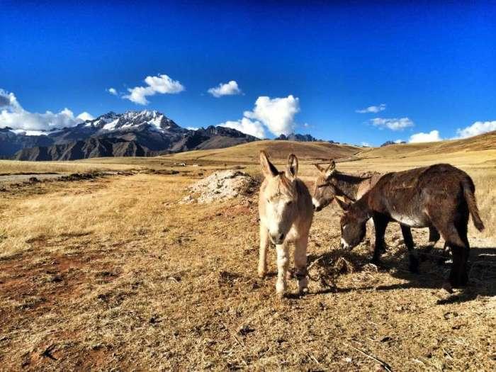 Esel im peruanischen Hochland