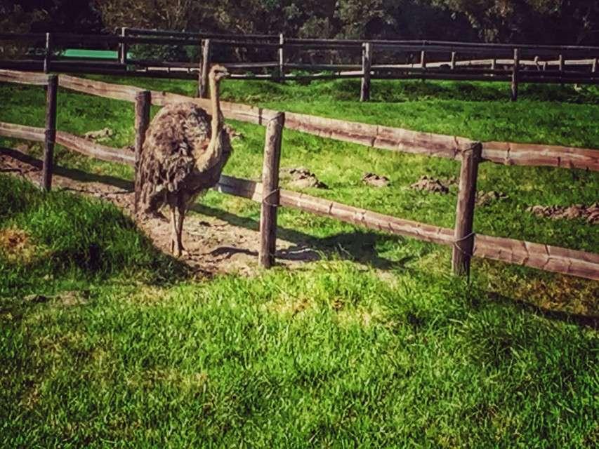 Strauß auf der Ostrich Farm