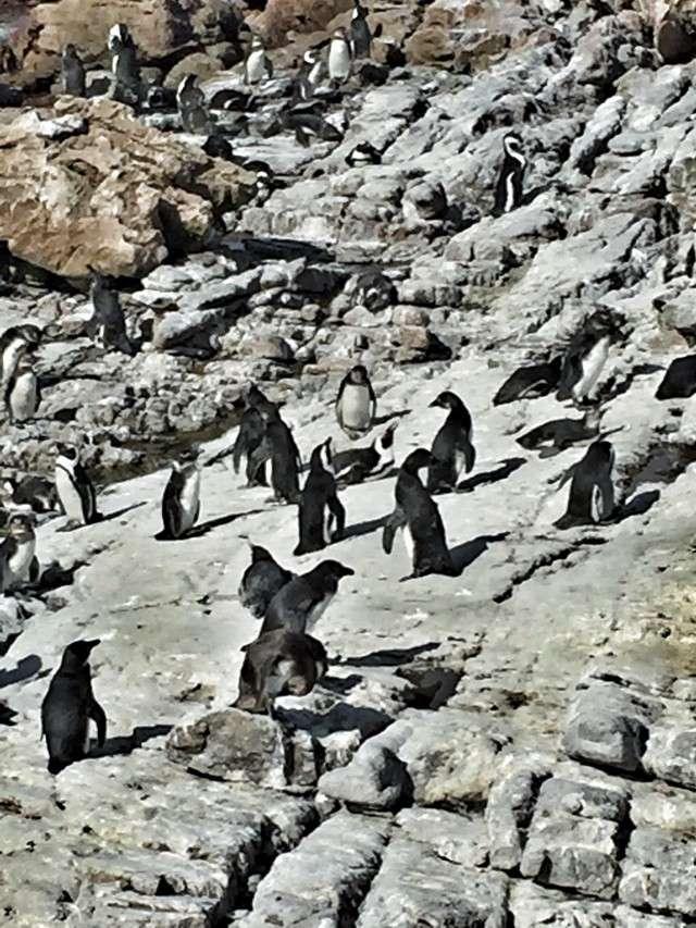 Pinguin-Kolonie an Betty's Bay