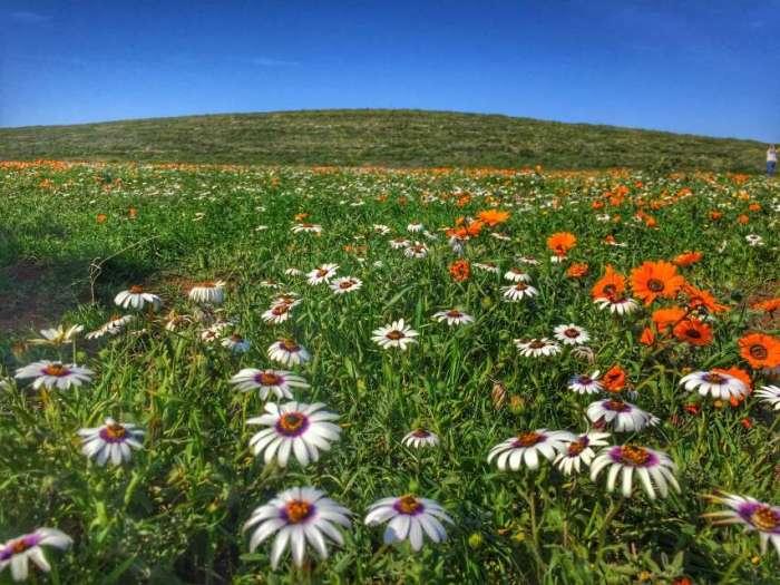 Blumenwiese im West Coast Nationalpark