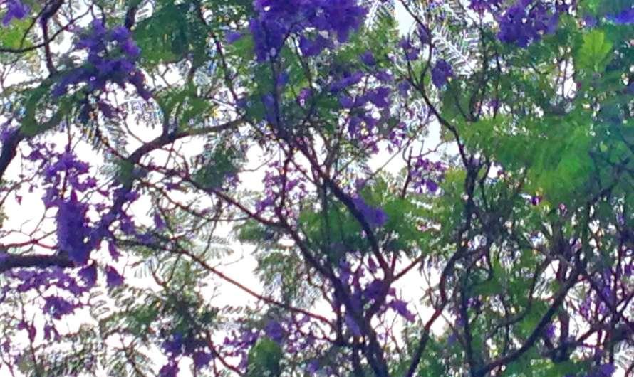 Die lila blühenden Jacaranda-Bäume