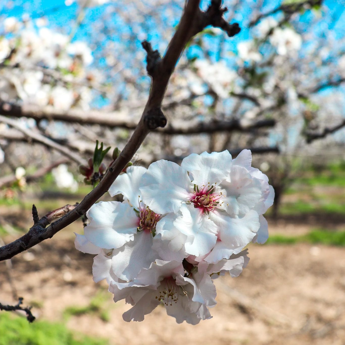 Almond Blossoms Israel