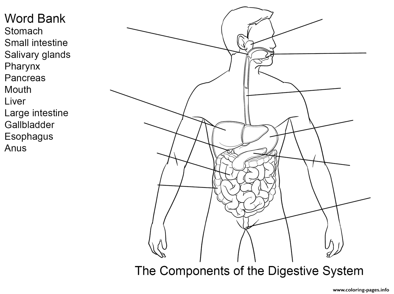 Components Of Digestive System Worksheet Coloring Pages