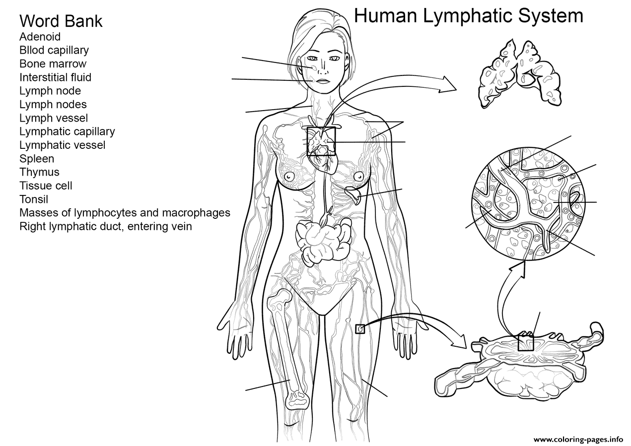 Lymphatic System Worksheet Coloring Pages Printable