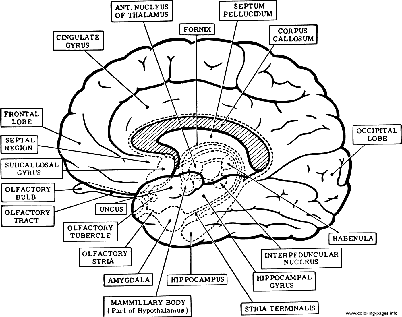 Brain Anatomy Neuroanatomy Coloring Pages Printable