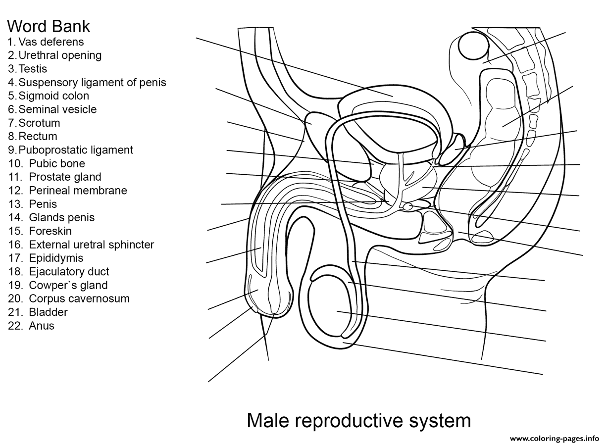 Male Reproductive System Worksheet Coloring Pages Printable